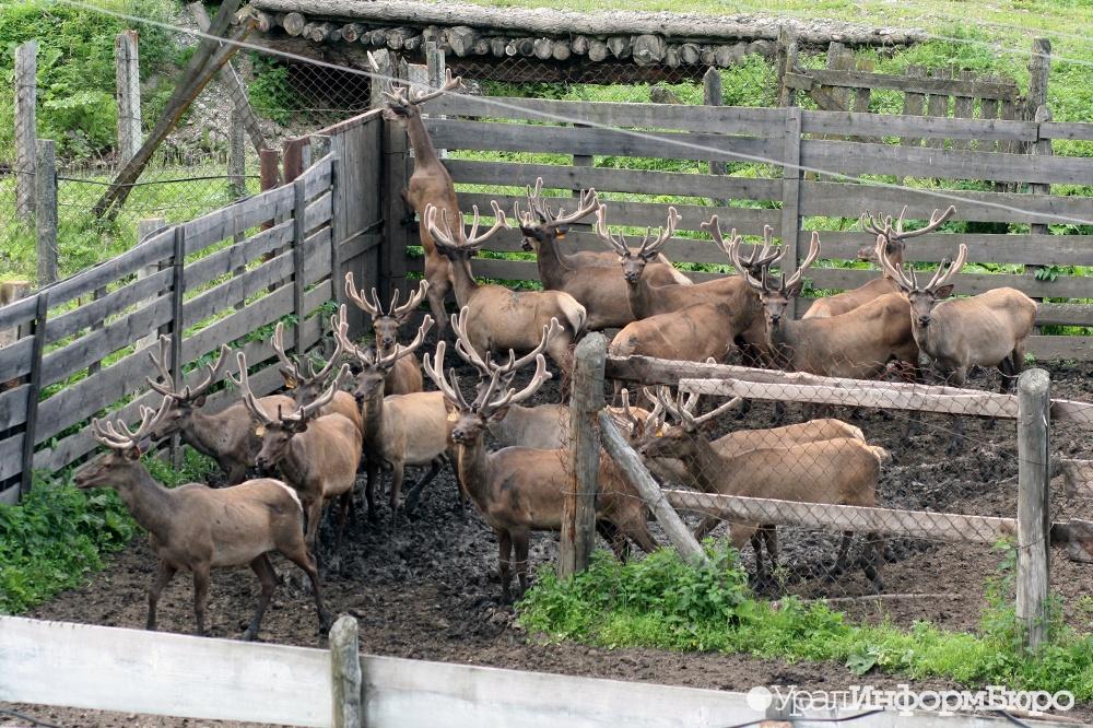НаЯмале зарегистрирована вспышка сибирской язвы. Погибли порядка 1200 оленей