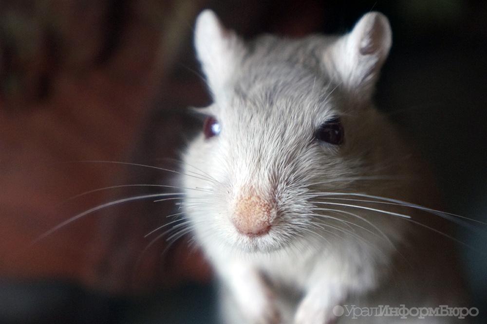 ВСША ученые превратили мышей в враждебных хищников