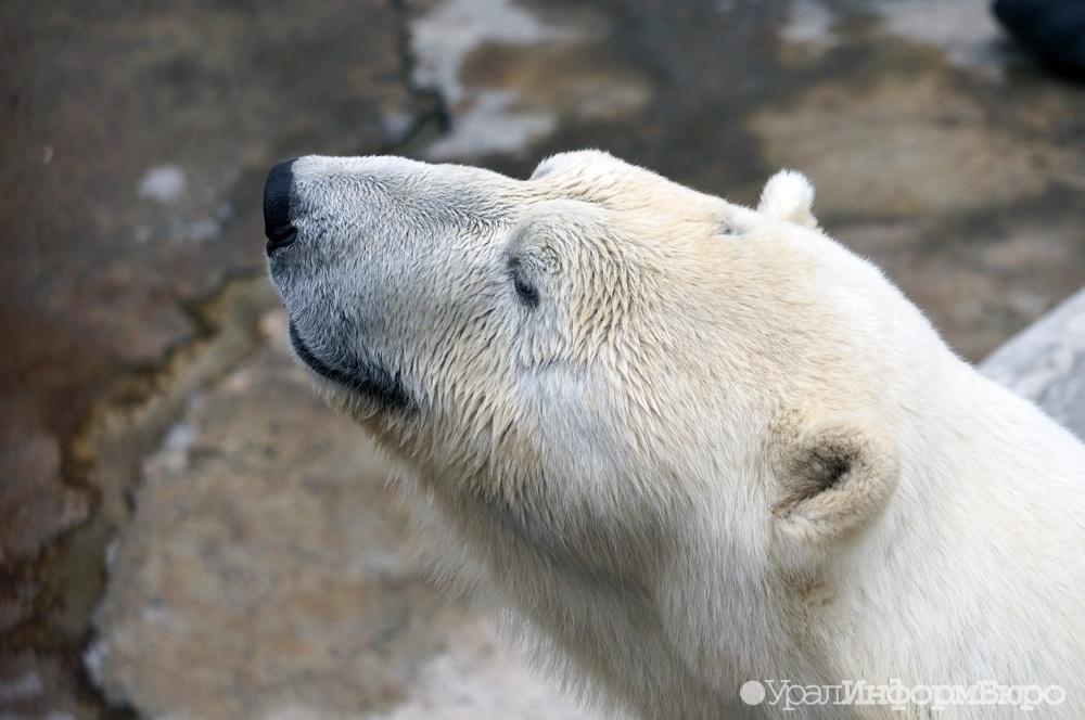 Уголовное дело возбудили наЯмале после убийства 6-ти белых медведей