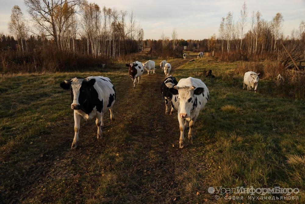 Свердловская область угодила втройку лидеров попроизводству молока