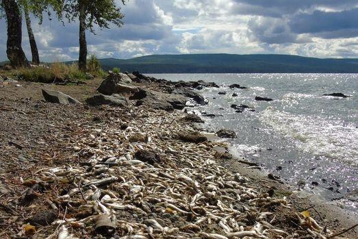 Наберега Черноисточинского водоема вНижнем Тагиле выкинуло сотни килограммов дохлой рыбы