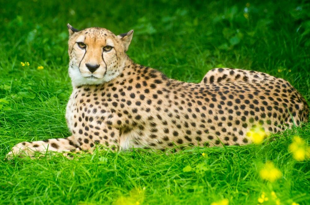 Ученые вшоке: гепарды пропадут слица Земли