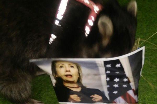 Енот Борис предсказал результаты выборов президента США