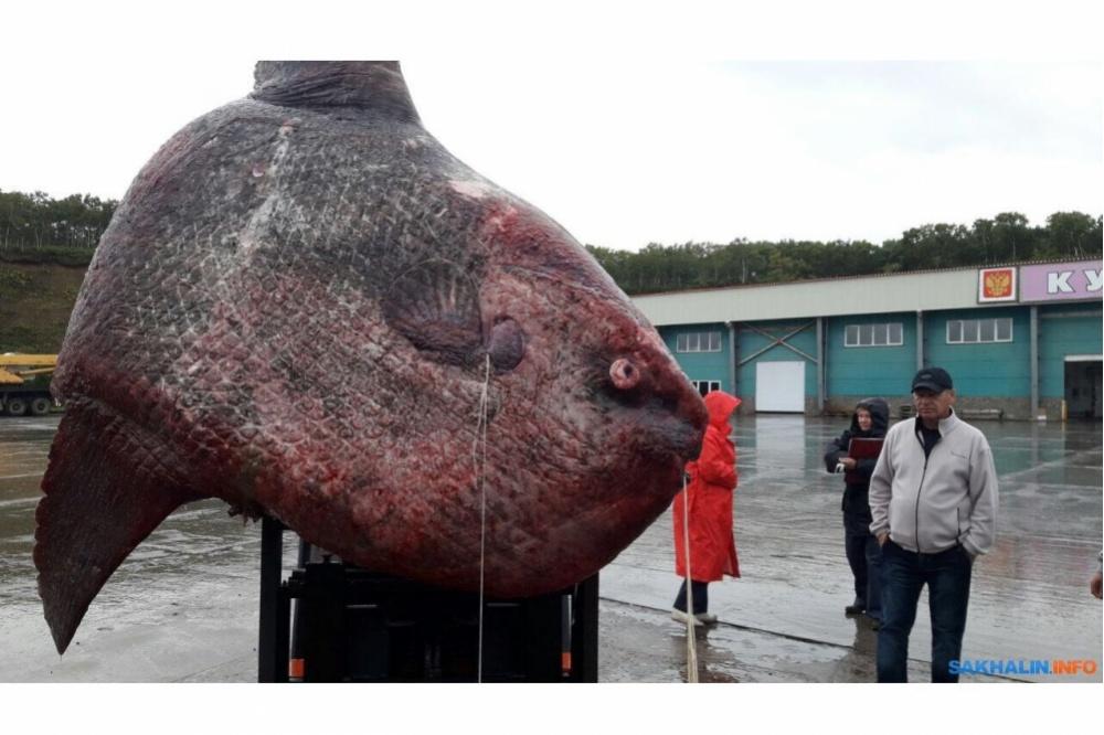 Огромную рыбу-луну скормили медведям