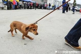 Собаководов планируют арестовывать за выгул питомцев без намордников
